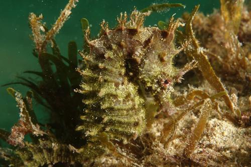 Sea Horse - Hippocampus Hippocampus - Simon Morley