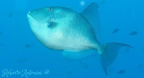 Trigger Fish - Baliste Capriscus - Roberto Antonini