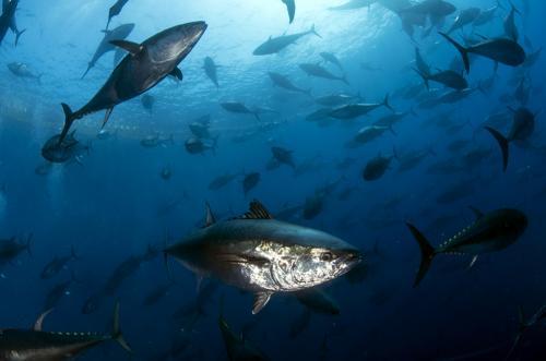 Tuna Farms - Marco Daturi