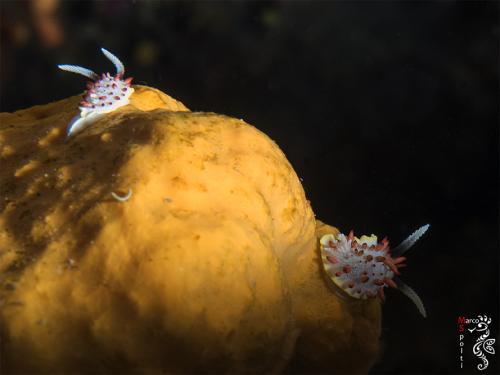 Diaphorodoris Papillata - Marco Spolti