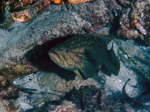 Dusky-Grouper-Epinephelus-Marginatus - Marco Spolti
