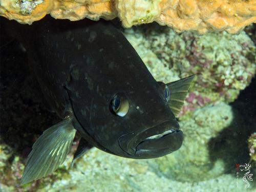 Dusky Grouper - Epinephelus Marginatus - Marco Spolti