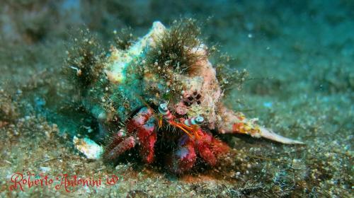 Hermit Crab - Dardanus Arrosor - Roberto Antonini