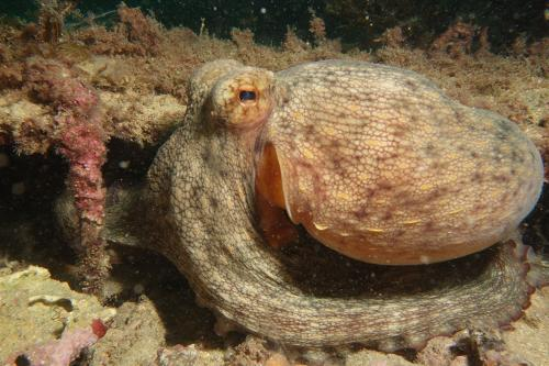 Octopus - Octopus Vulgaris - Simon Morley