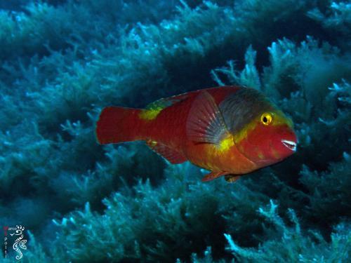 Parrot Fish - Sparisoma Cretense - Marco Spolti