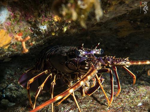 Spiny-Lobster-Palinurus-Elephas-Marco-Spolti